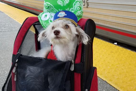 Small dog sits in mesh dog carrier ready to board train